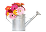 colorful daisies in metal watering can - isolated on white