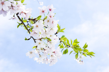 Blossoming cherry in spring