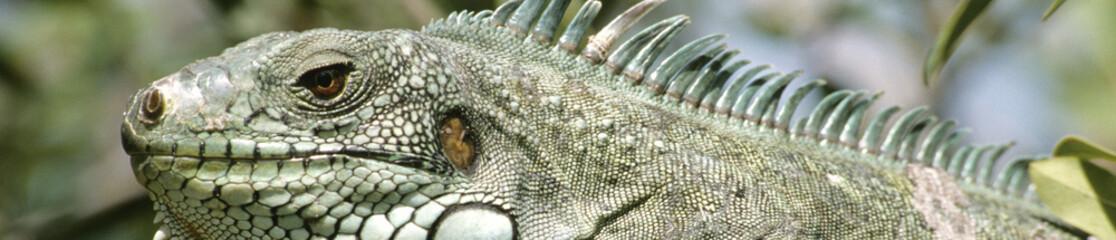 Iguane pano