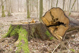 Spruce stump and log lying next to poster