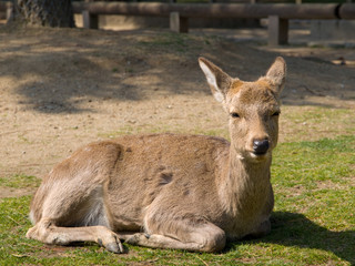 Sleepy Nara deer