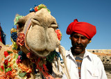 camel on safari poster