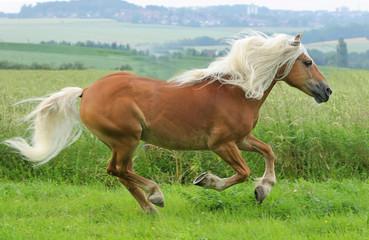 Pferd - Galopp