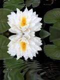 White Lotus Reflection poster