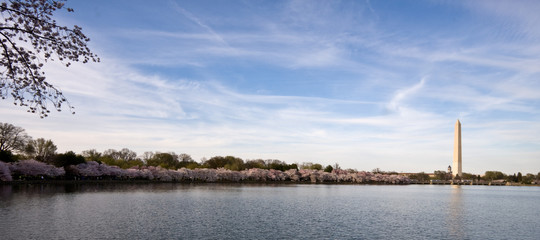 Panorama of cherry blossoms