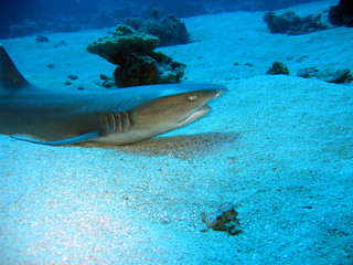 silver tip reef shark