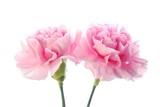 pink carnation - 7159808