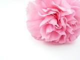 pink carnation - 7159811