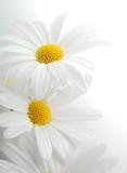 Białe wiosenne margaretki - 7159838