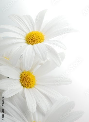 Foto op Canvas Madeliefjes white spring marguerite