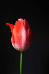 Tulipano rosso su sfondo nero