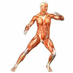 Male Human Body Anatomy - Sport