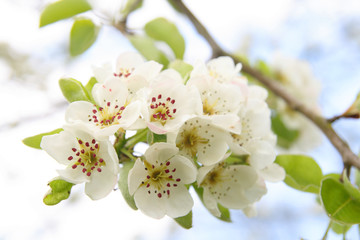 White cherry blossoms on a branch