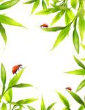 Fototapety Ladybugs sitting on bamboo leaves