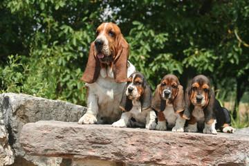 chienne et chiots basset hound