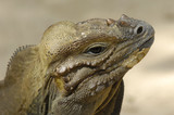 Komodo reptile is looking poster
