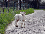Young Lamb on a farm pathway poster