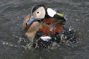 Duck splash