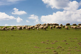 sheep pasture in beautiful czech farmland