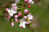 pinkish-white apple blossoms