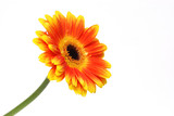 orange yellow bicolor gerber daisy isolated on white background poster