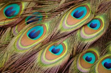 Beautiful peacock feathers