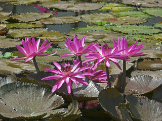 Beautiful Pink Lotus, Water Lilly flower in a water pond.