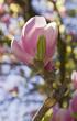 Leinwandbild Motiv Magnolia