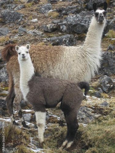 In de dag Lama lamas