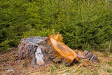 tree stump and fresh young trees poster