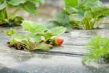 Growing Strawberries - 7226093
