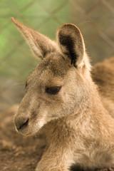 kangoroo portrait