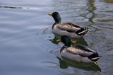 mallard duck pals poster