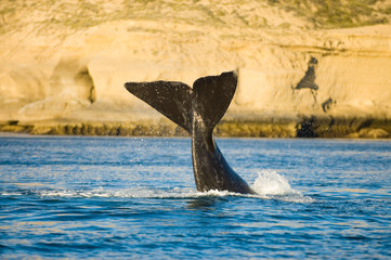 Southern right whale in Peninsula Valdes, Patagonia, Argentina