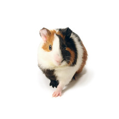 A guinea-pig on a white background.