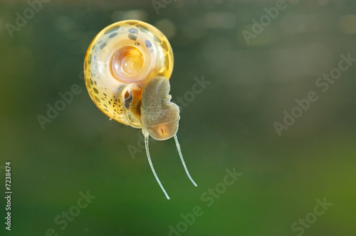 Biomphalaria fresh-water Snail vector of Schistosomiasis - 7238474
