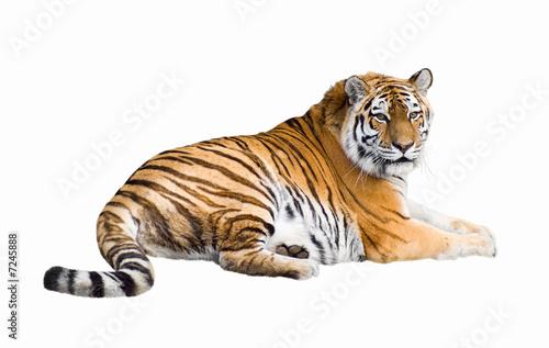 Foto op Canvas Tijger Siberian tiger cutout