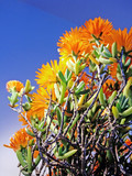 Vygie South african succulent Plant poster