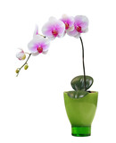 Isolated orchid on a green porcelain pot poster