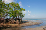 Mangrove  tree, Mozambique