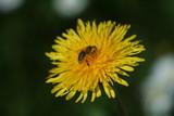 ape su fiore giallo poster