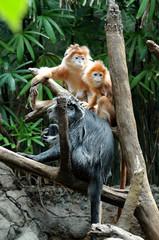 silver leaf monkey - sleeping family 2