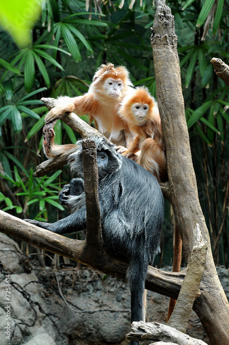 silver leaf monkey - sleeping family 2