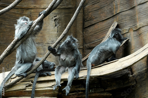 Silver leaf monkey - grey monkey 1