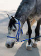 dappled horse in blue bridle bending head to the asphalt