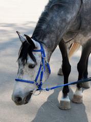 dappled horse in blue bridle bending head to the asphalt