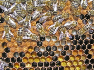 Reproduction of bees.