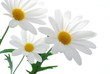 beautiful white spring marguerite against white background
