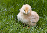 Cute fluffy chicken in grass poster