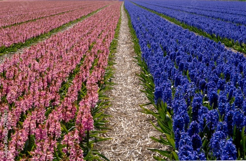 Two colors of hyacinth 'Hyacinthus' field in Holland